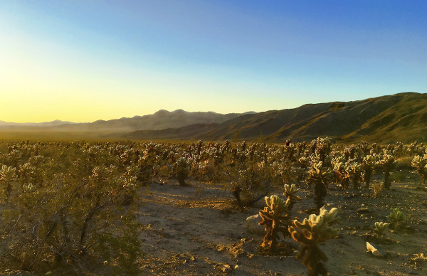 Cholla Cactus Garden, Sunrise by Rodney Buxton