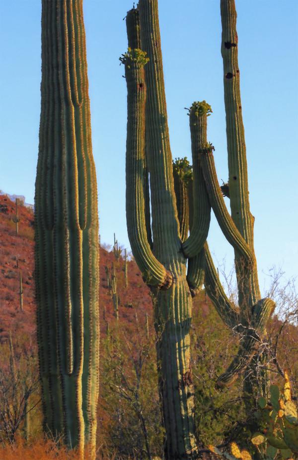 Dancing Saguaros, Near Sunset by Rodney Buxton