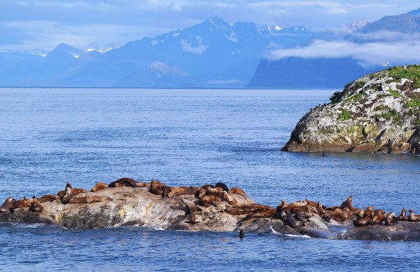 Sunning Sea Lions, Marble Islands, Morning by Rodney Buxton
