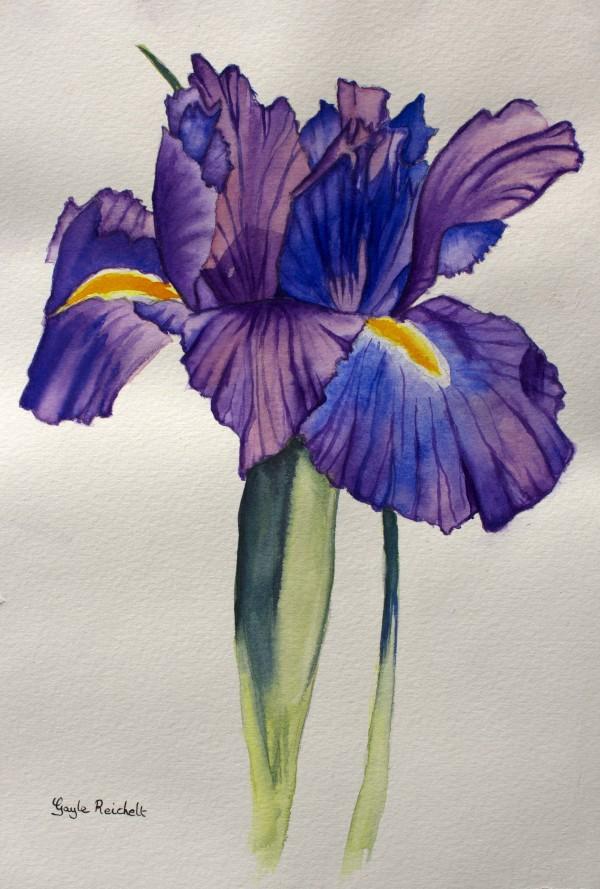 Iris by Gayle Reichelt