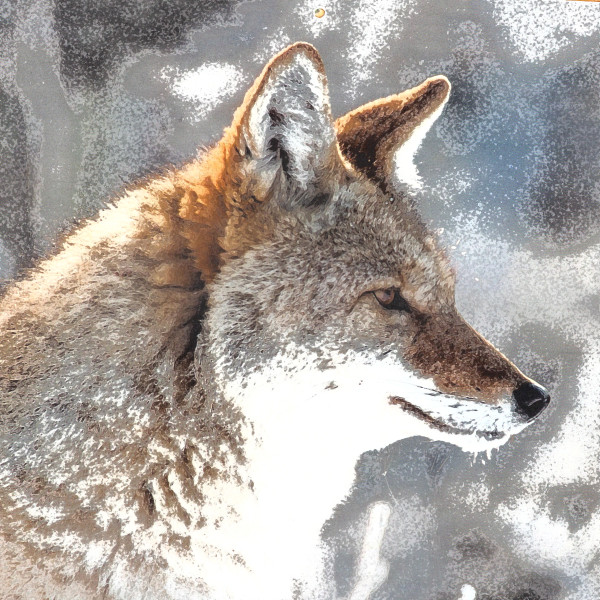 Coyote by Gina Godfrey