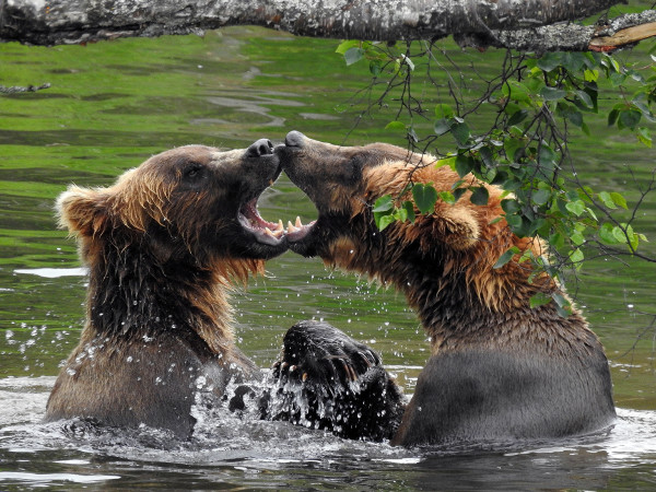 Grizzly Tango