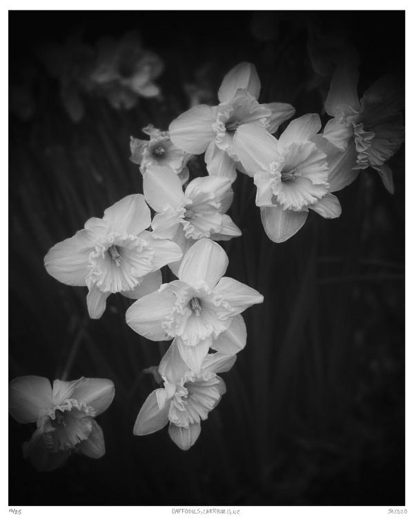 13. Daffodils, Carrboro, NC by Jenn Adams