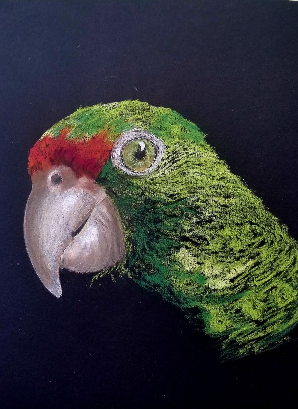 red browed amazon parrot