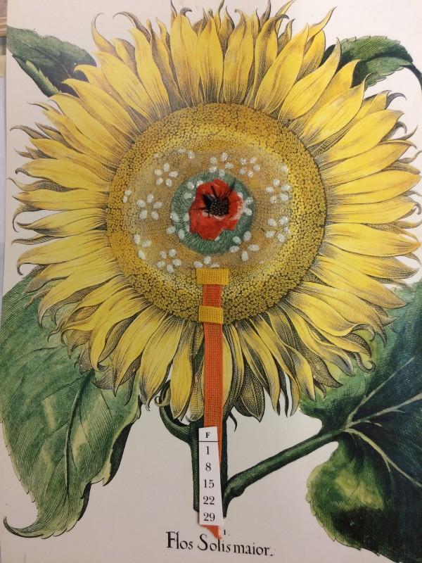 Sunflower beauty - Flos Solis Maior by Susan Grucci