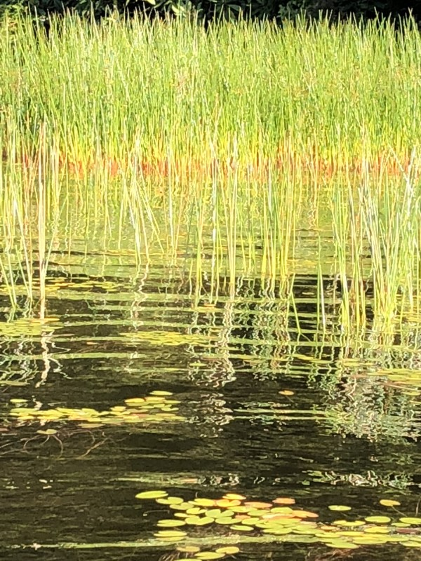 reeds by Susan Grucci
