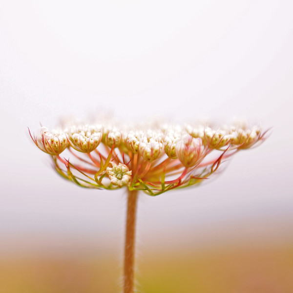 Queen Anne's Lace II by Alaina Chapin