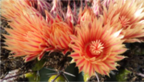Barrel Cactus Blooms by Marla Endicott