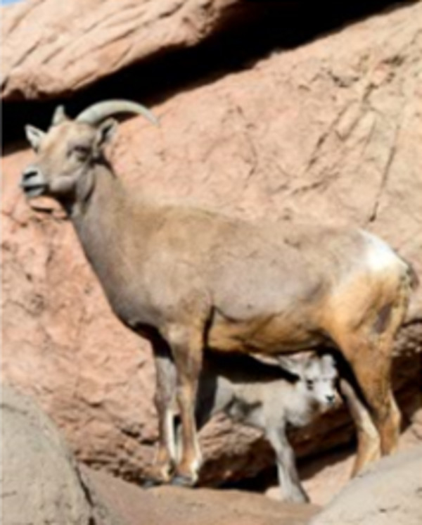 Bighorn Sheep and Baby by Leslie Leathers
