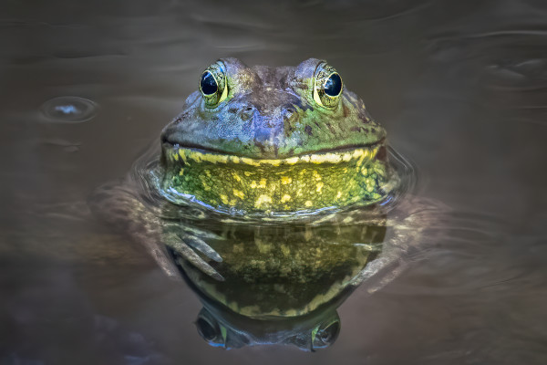 Chiricahua Leopard Frog by James Capo