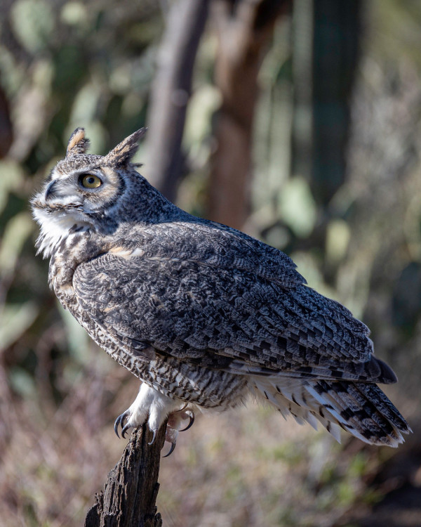 Great Horned Owl by Christopher Wesselman