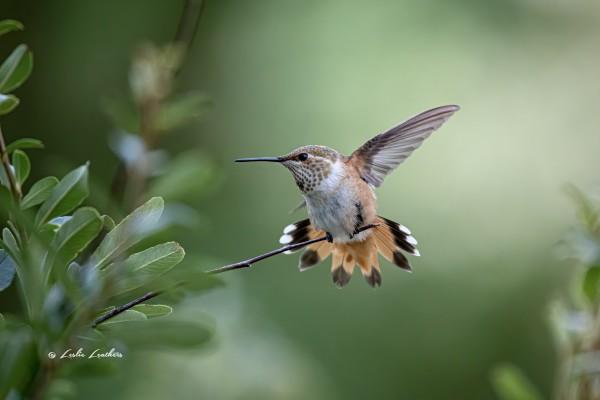 Rufous Hummingbird by Leslie Leathers