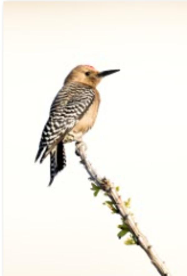 Gila Woodpecker by Leslie Leathers