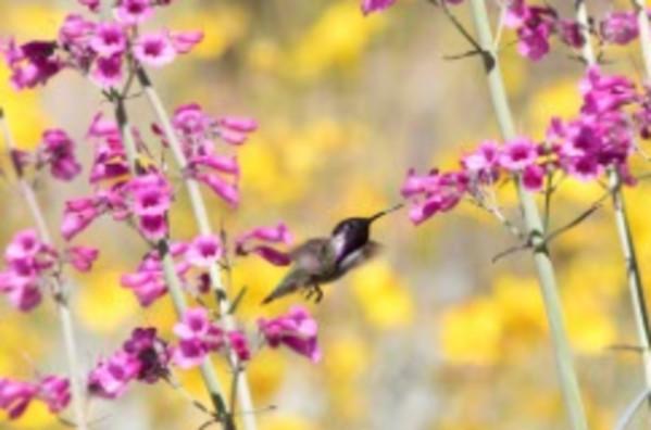 Costa's Hummingbird on Pink Penstemon by Leslie Leathers