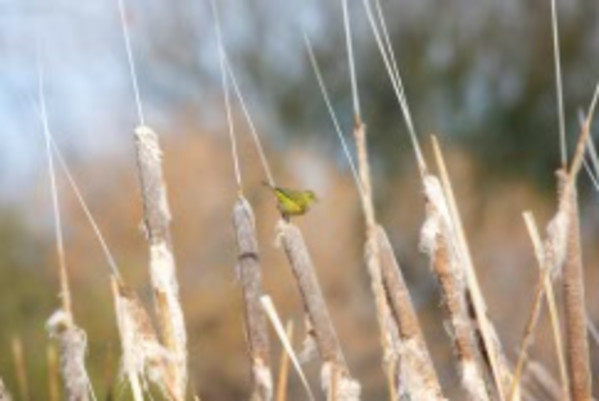 Orange Crowned Warbler on Cattails by Leslie Leathers