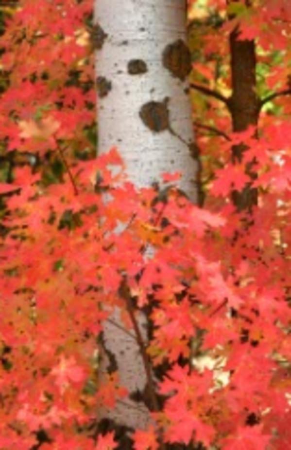 Maple's Fall Colors Hug an Aspen Trunk    by Susan Drew