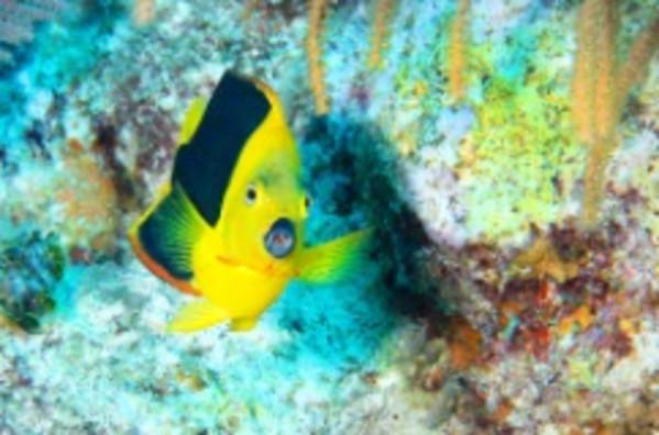 Fish Lips (Rock Beauty, Grand Turk) by Matt Offerdahl