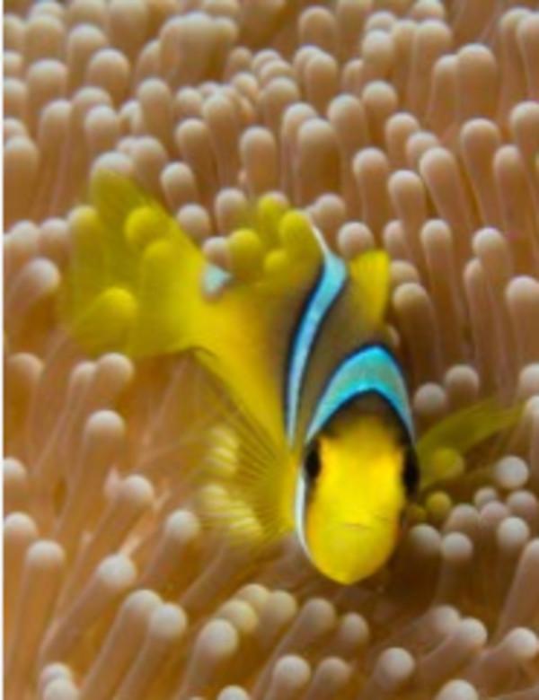Hello There! (Clarks Anemonefish, Fiji) by Matt Offerdahl