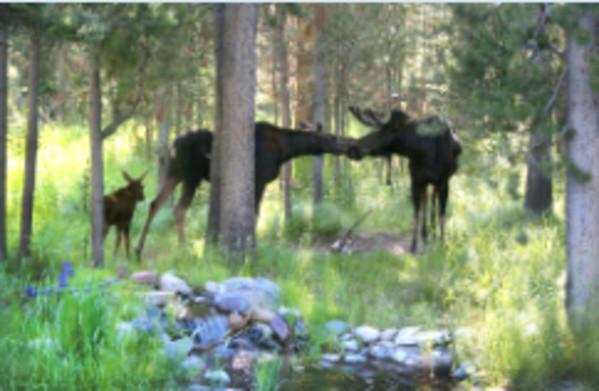 Moose Smooch by Susan Drew