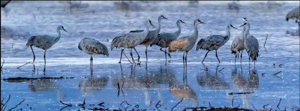 Sandhill Cranes, Whitewater Draw by Gregory E McKelvey