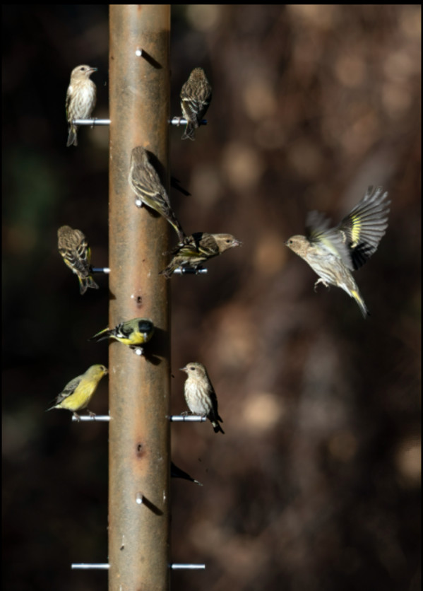 Finch Feeding Frenzy, Madera Canyon by Gregory E McKelvey