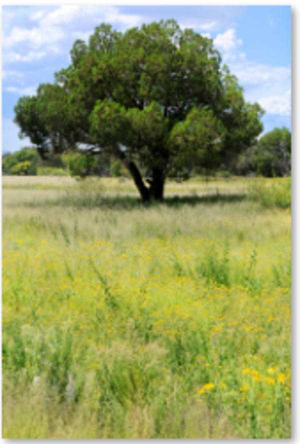 Tree Near Pantano Wash by Jen Ryder