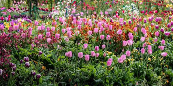 Keukenhof Tulips    by Steve Dell
