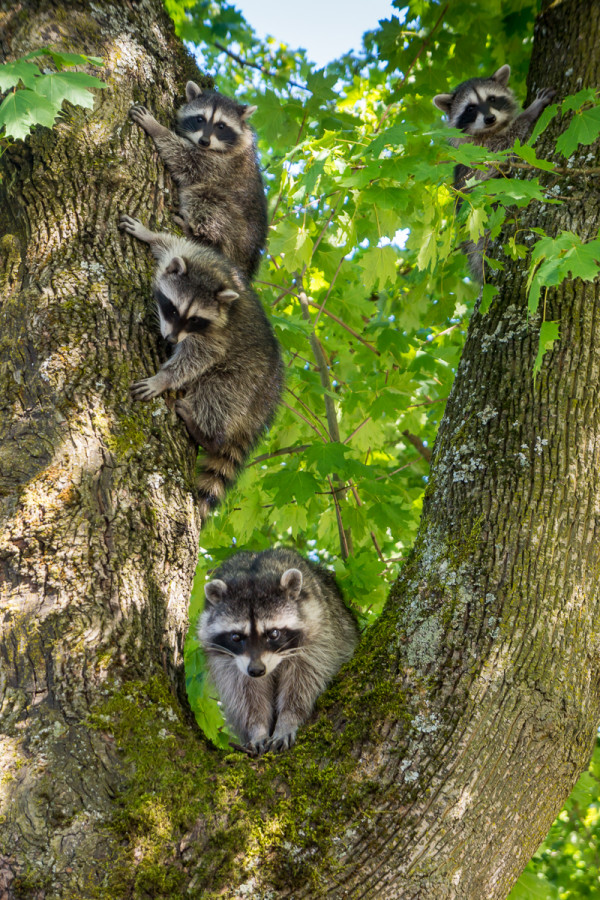 Racoon Family by Vicky Stromee