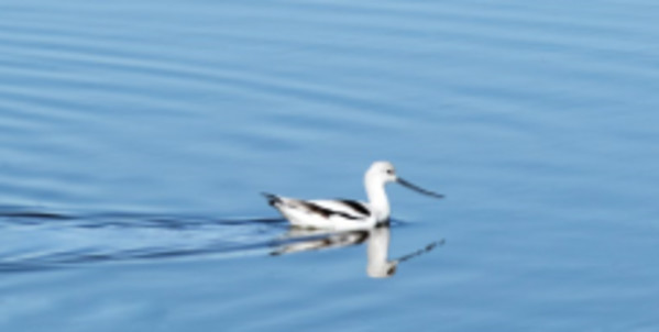 Avocet Reflections by Leslie Leathers