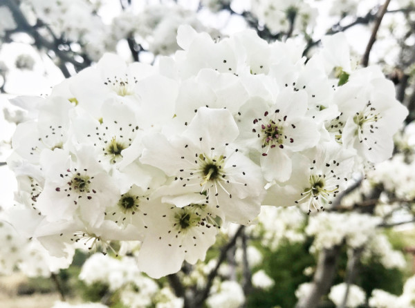 White Blossoms by Bill Steen