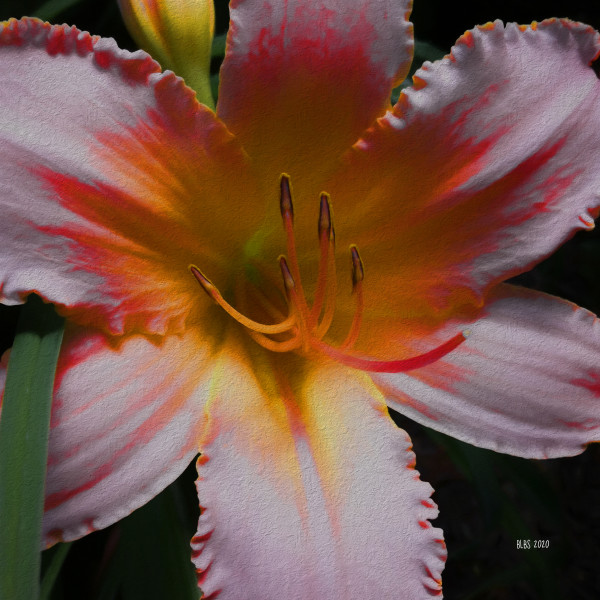 Blush Lily by Barbara Storey