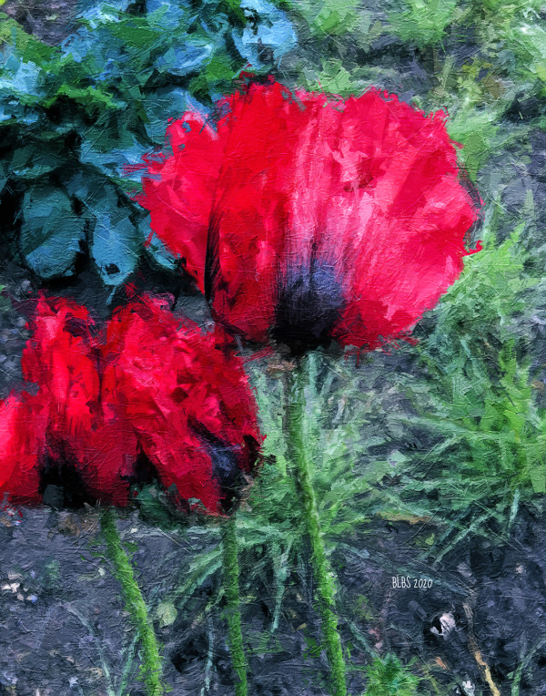 Bright Red Poppies by Barbara Storey