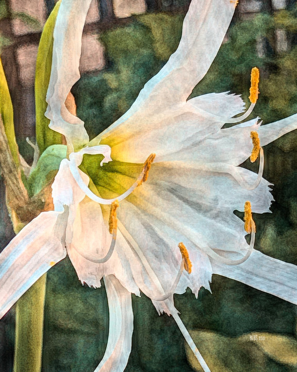 Peruvian Daffodil by Barbara Storey