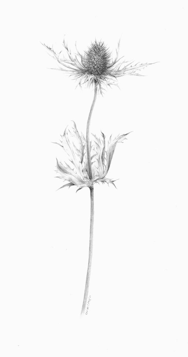 Decay xii ~ the Eryngium by Louisa Crispin