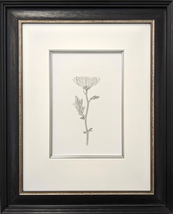 Chrysanthemum v by Louisa Crispin