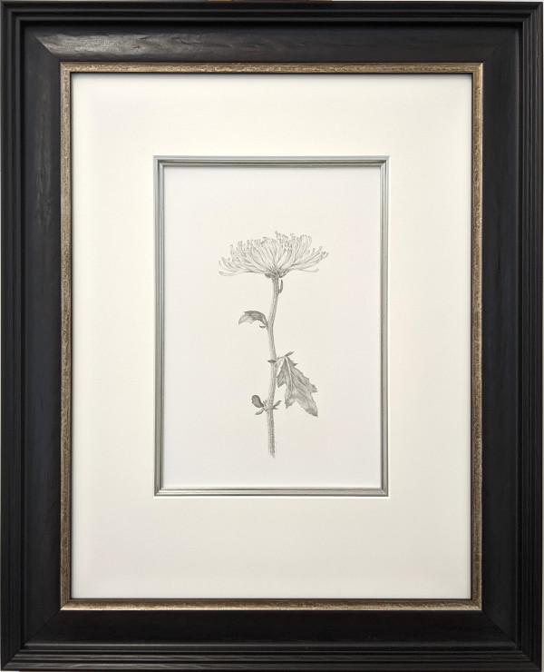 Chrysanthemum vi by Louisa Crispin