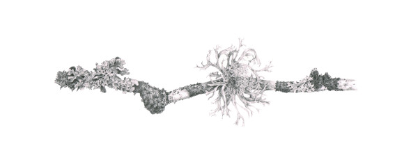 Lichen on Gleditsia vii by Louisa Crispin