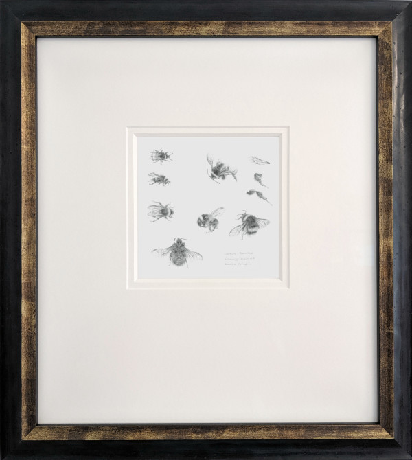 Study of a  BumbleBee 003 by Louisa Crispin