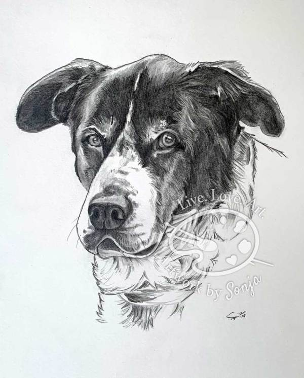 Mixed Breed Pet Portrait in Pencils by Sonja Petersen