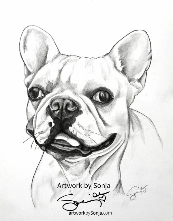 Frenchie Drawing in Pencil by Sonja Petersen