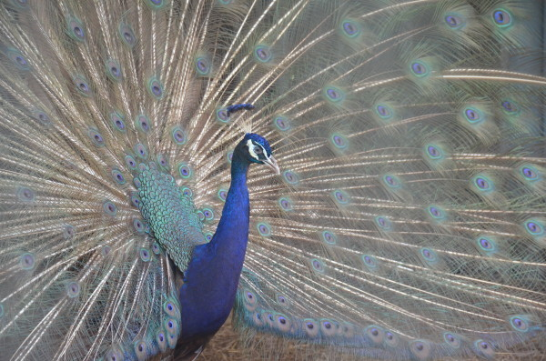 A Peacock in His Pride by Florence Suen