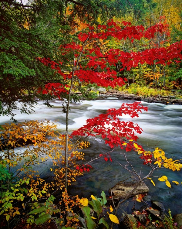 Red Maple 23/25 by Ron Smid