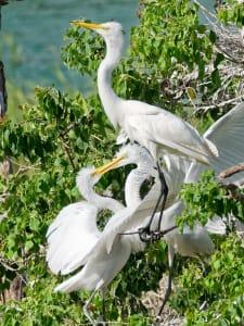 Feeding Egrets