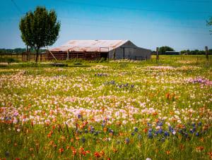 Brenham Wildflowers II