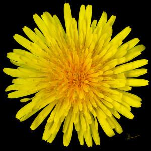 Dandelion Flower Squared
