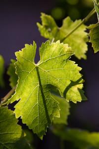 Vine Veins