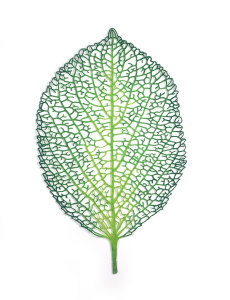 Hydrangea Leaf (Hydrangea macrophylla)