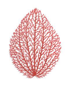 Peperomia (Peperomia sp.)