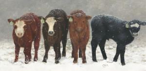 Inquisitive Calves