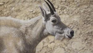 Basking in the Light - Mountain Goat